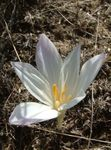 Photo False Autumn Crocus, Showy Colchicum, Naked Ladies, Meadow Saffron characteristics