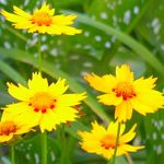 Photo Garden Flowers Goldmane Tickseed (Coreopsis drummondii), yellow
