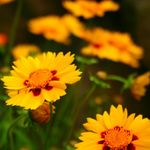Photo Garden Flowers Goldmane Tickseed (Coreopsis drummondii), orange