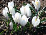 Photo Early Crocus, Tommasini's Crocus, Snow Crocus, Tommies characteristics