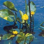 Photo Garden Flowers Southern Spatterdock, Yellow Pond Lily, Yellow Cow Lily (Nuphar), yellow