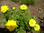 Photo Garden Flowers Adonis sibirica , yellow