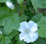Photo Annual Mallow, Rose Mallow, Royal Mallow, Regal Mallow characteristics