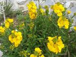 Wallflower, Cheiranthus