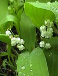 Photo Garden Flowers Lily of the valley, May Bells, Our Lady's Tears (Convallaria), white