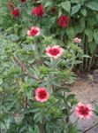Photo Garden Flowers Cinquefoil (Potentilla), pink
