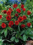 Photo Cinquefoil characteristics