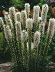 Photo Gayfeather, Blazing Star, Button Snakeroot characteristics