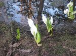 Photo Yellow skunk cabbage characteristics