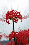 Photo Spider Lily, Surprise Lily characteristics