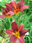 Photo Daylily characteristics