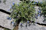 Photo Garden Flowers Scrambling Gromwell (Lithospermum), light blue