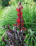 Photo Cardinal flower, Mexican lobelia (Lobelia fulgens), red