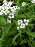 Photo Garden Flowers Sweet Alyssum, Sweet Alison, Seaside Lobularia (Lobularia maritima), white