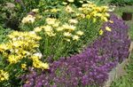 Photo Garden Flowers Sweet Alyssum, Sweet Alison, Seaside Lobularia (Lobularia maritima), purple