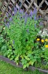 Photo Agastache, Hybrid Anise Hyssop, Mexican Mint characteristics