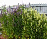 Agastache, Hybrid Anise Hyssop, Mexican Mint