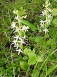 Photo Species Orchid, Lesser Butterfly Orchid, Two-Leafed Platanthera characteristics