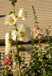 Photo Hollyhock characteristics