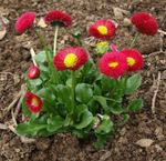 Photo Garden Flowers Bellis daisy, English Daisy, Lawn Daisy, Bruisewort (Bellis perennis), red