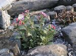 Photo Garden Flowers Lungwort (Pulmonaria), pink