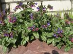 Photo Garden Flowers Lungwort (Pulmonaria), lilac