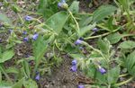 Photo Garden Flowers Lungwort (Pulmonaria), blue