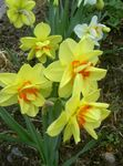 Photo Garden Flowers Daffodil (Narcissus), yellow