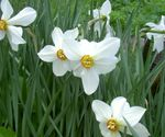 Photo Garden Flowers Daffodil (Narcissus), white