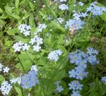 Photo Forget-me-not characteristics