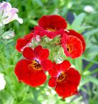 Photo Garden Flowers Cape Jewels (Nemesia), red