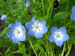 Photo Garden Flowers Nemophila, Baby Blue-eyes , light blue
