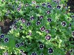 Photo Garden Flowers Nemophila, Baby Blue-eyes , black