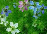 Photo Love-in-a-mist characteristics