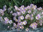 Photo Garden Flowers Evening primrose (Oenothera speciosa), pink