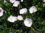 Photo Garden Flowers Evening primrose (Oenothera speciosa), white