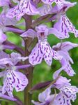 Photo Garden Flowers Marsh Orchid, Spotted Orchid (Dactylorhiza), lilac