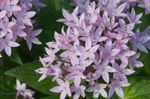 Photo Egyptian star flower, Egyptian Star Cluster (Pentas), lilac