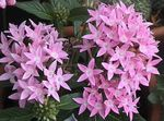 Photo Egyptian star flower, Egyptian Star Cluster characteristics