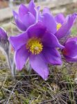 Photo Pasque flower (Pulsatilla), lilac