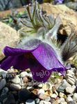 Photo Pasque flower (Pulsatilla), purple