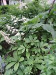 Photo Featherleaf Rodgersia, Rodgers Flower , white