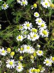 German Chamomile, Scented Mayweed