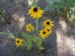 Photo Black-eyed Susan, Eastern Coneflower, Orange Coneflower, Showy Coneflower characteristics
