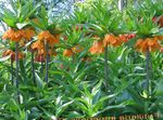 Photo Crown Imperial Fritillaria characteristics