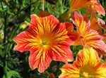 Photo Garden Flowers Painted Tongue (Salpiglossis), orange
