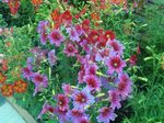 Photo Garden Flowers Painted Tongue (Salpiglossis), pink