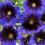 Photo Garden Flowers Painted Tongue (Salpiglossis), blue