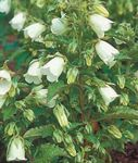 Photo Ring Bellflower (Symphyandra hofmannii), white