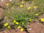 Photo Pink Hawk's Beard, Hawksbeard characteristics